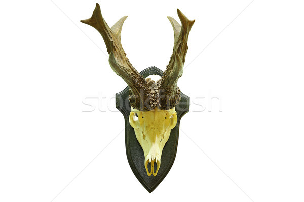 huge roebuck hunting trophy Stock photo © taviphoto