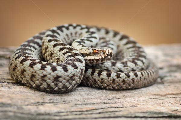 Stock photo: beautiful common viper male