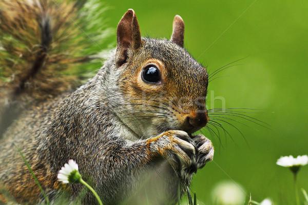 Stock photo: closeup of grey squirrel face