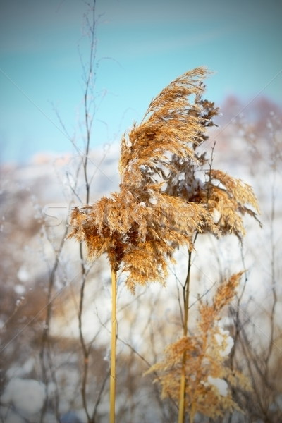 reed in winter Stock photo © taviphoto