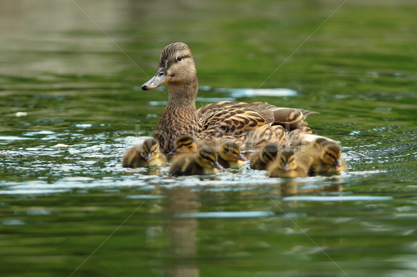 ducks family on water surface Stock photo © taviphoto
