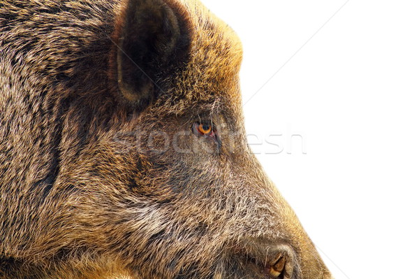 isolated closeup of a wild hog Stock photo © taviphoto