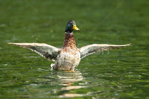Сток-фото: мужчины · крыльями · пруд · воды · красоту · зеленый