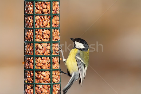 great tit on peanut feeder Stock photo © taviphoto