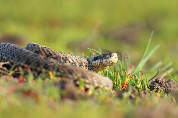 Legelő természetes élőhely állat gyönyörű mérleg Stock fotó © taviphoto