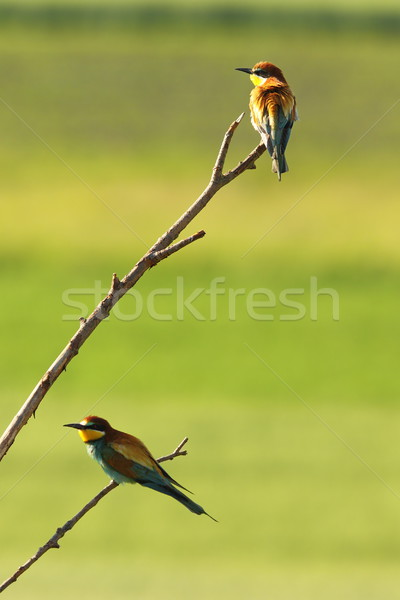 european bee eaters perched on twigs Stock photo © taviphoto