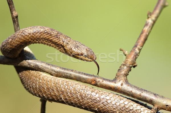 Kígyó közelkép zöld ág ki fókusz Stock fotó © taviphoto