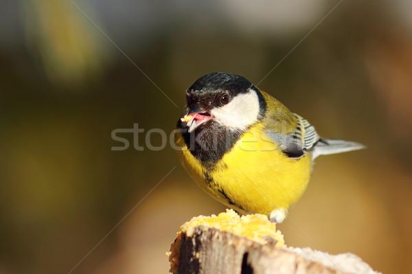 Cute Тит саду птица зима Сток-фото © taviphoto