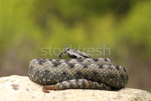 beautiful male nose horned viper on a rock Stock photo © taviphoto