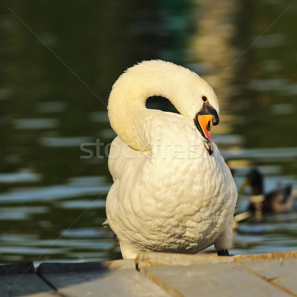 closeup of mute swan in the park Stock photo © taviphoto