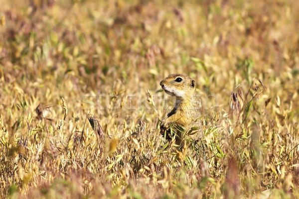european ground squirrel in the field Stock photo © taviphoto