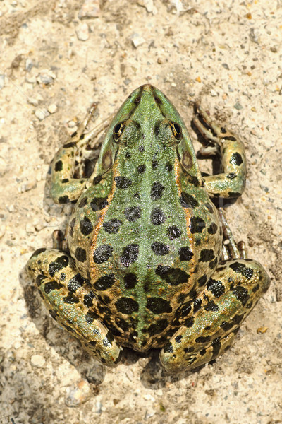 full length image of colorful marsh frog Stock photo © taviphoto