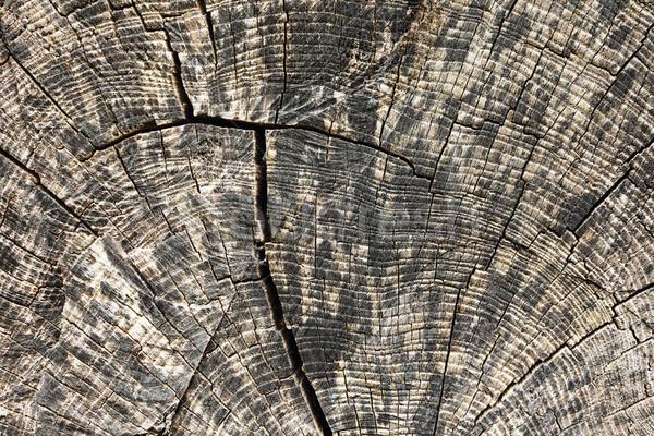ニレ ツリー 木の質感 リング ストックフォト © taviphoto