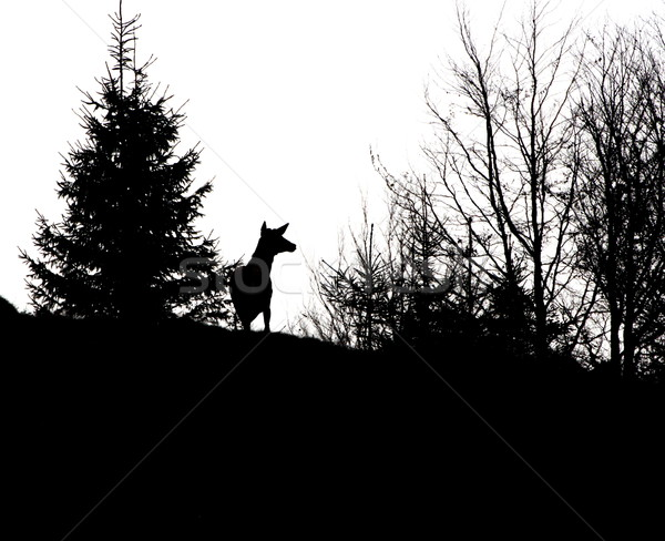 red deer stag silhouette Stock photo © taviphoto