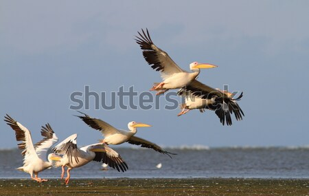 two pelicans flying over the sea Stock photo © taviphoto