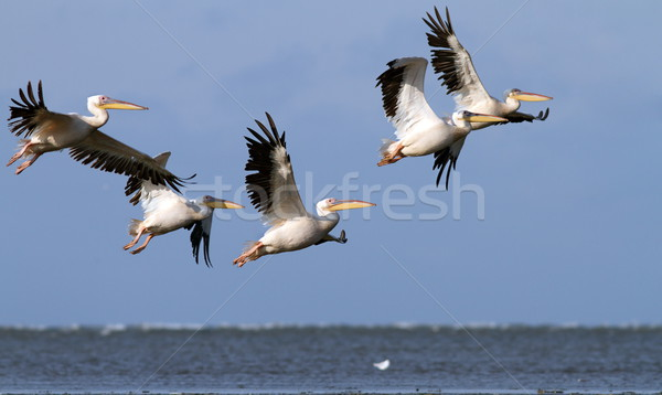 great pelicans in danube delta Stock photo © taviphoto