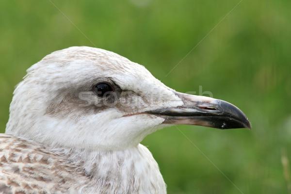 Juvenil retrato pássaro viajar jovem branco Foto stock © taviphoto