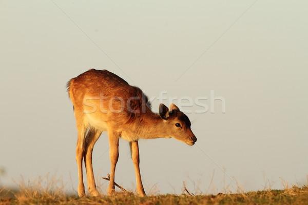 fallow deer calf in beautiful light Stock photo © taviphoto