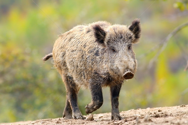 wild boar coming towards camera Stock photo © taviphoto