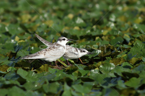 juveniles whiskered tern Stock photo © taviphoto