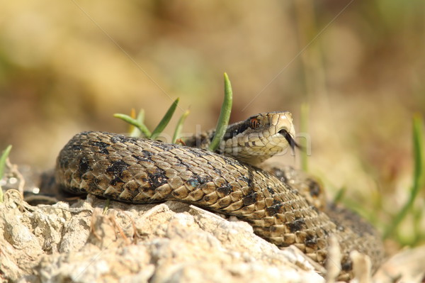 detail of vipera ursinii rakosiensis in situ Stock photo © taviphoto