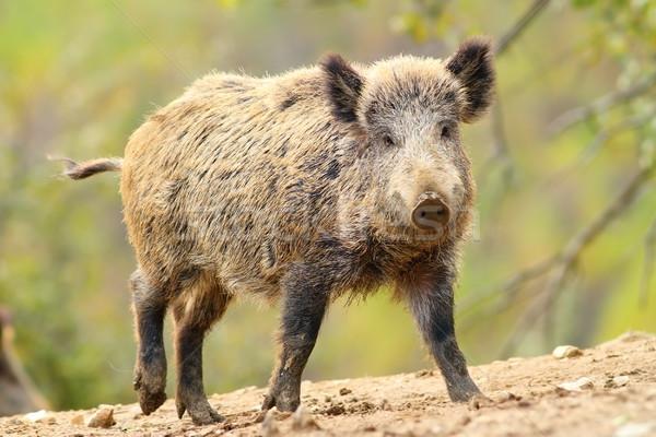 wild boar in glade Stock photo © taviphoto