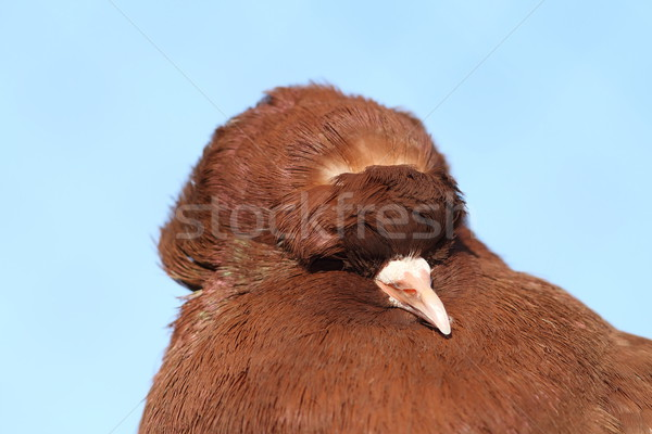 brown pigeon portrait Stock photo © taviphoto