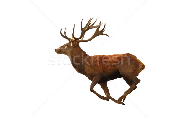isolated red deer running Stock photo © taviphoto