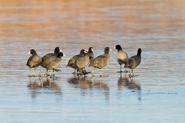 flock of common coots on icy lake Stock photo © taviphoto