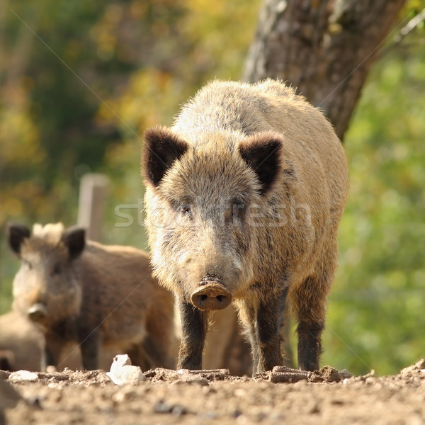curious huge wild boar looking at the photographer Stock photo © taviphoto