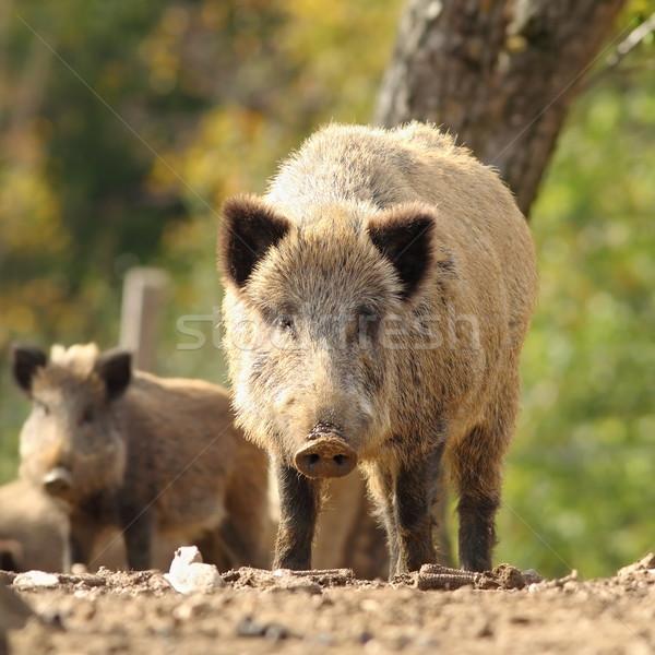 Nieuwsgierig reusachtig wild mannetjesvarken naar fotograaf Stockfoto © taviphoto