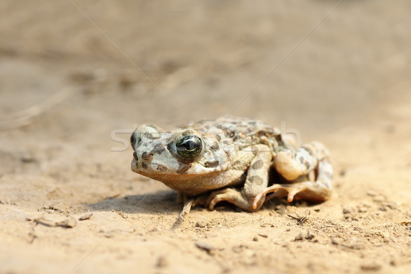 juvenile european green toad Stock photo © taviphoto