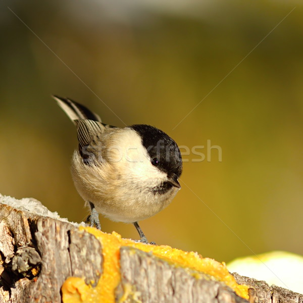 coal tit coming to feed on lard Stock photo © taviphoto