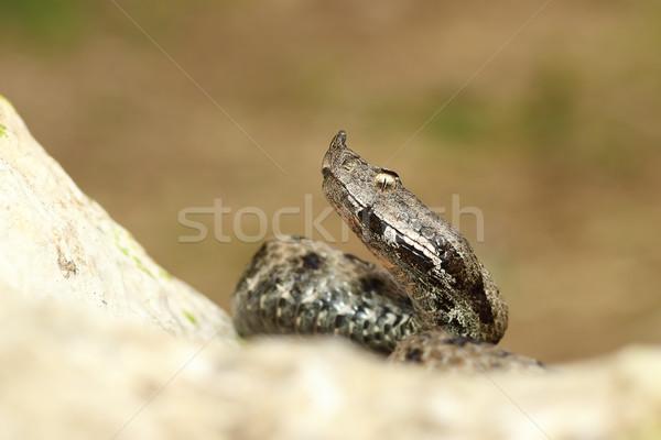 Venenoso europeo serpiente rock Foto stock © taviphoto