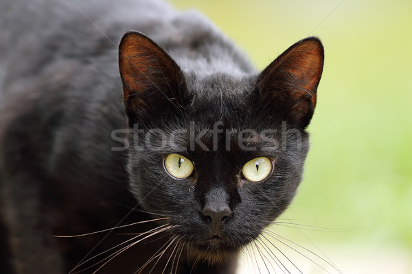 Hermosa negro gato doméstico retrato ojos verdes cara Foto stock © taviphoto