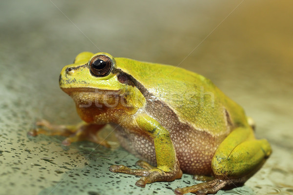 cute green tree frog close up Stock photo © taviphoto