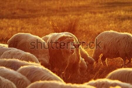 closeup of sheep ram at dawn  Stock photo © taviphoto