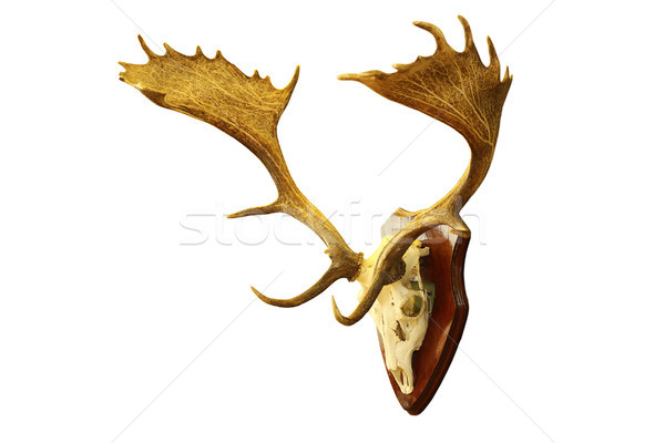 isolated large fallow deer stag trophy Stock photo © taviphoto