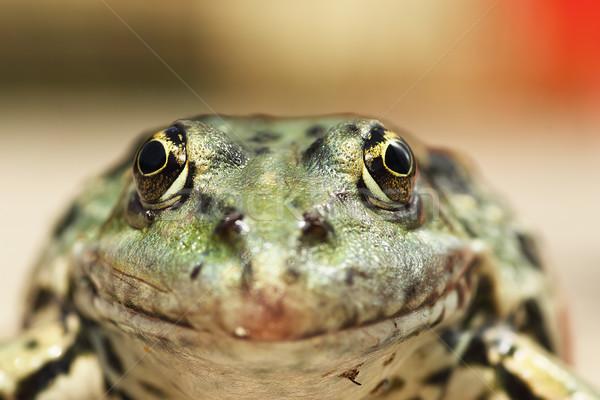 macro portrait of Pelophylax ridibundus Stock photo © taviphoto