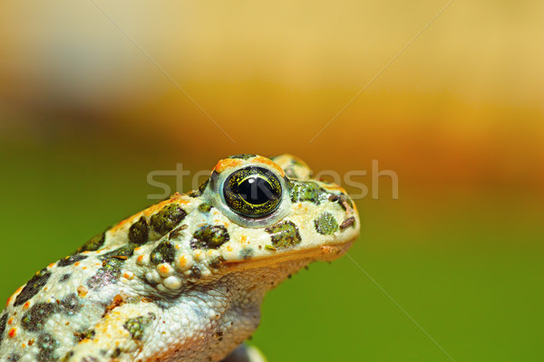 portrait of cute young green toad Stock photo © taviphoto