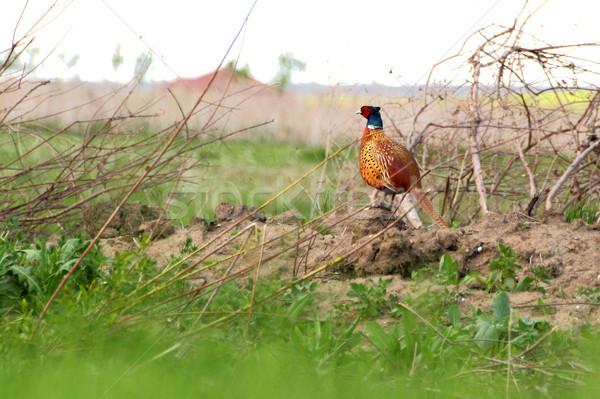 pheasant in spring Stock photo © taviphoto