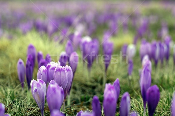violet wild spring flowers Stock photo © taviphoto