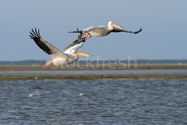 two great pelicans in flight over the lagoon Stock photo © taviphoto