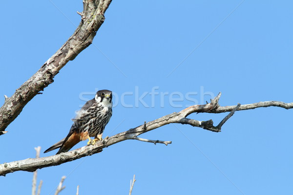 eurasian hobby on banch Stock photo © taviphoto