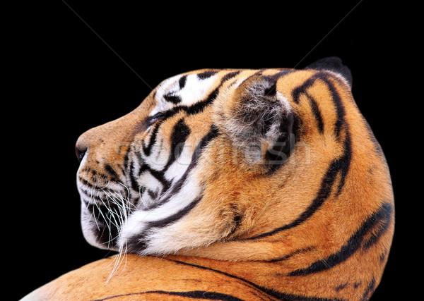 tiger head on dark background Stock photo © taviphoto