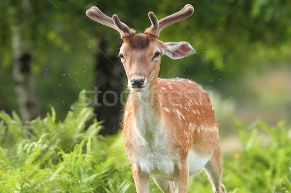 ストックフォト: 鹿 · バック · 森林 · 自然 · 肖像 · 公園