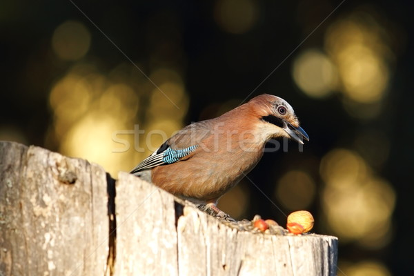garden bird foraging for nuts Stock photo © taviphoto
