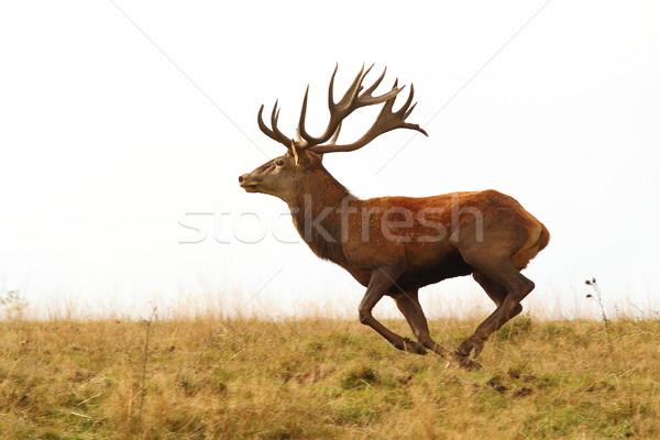 deer buck running wild Stock photo © taviphoto