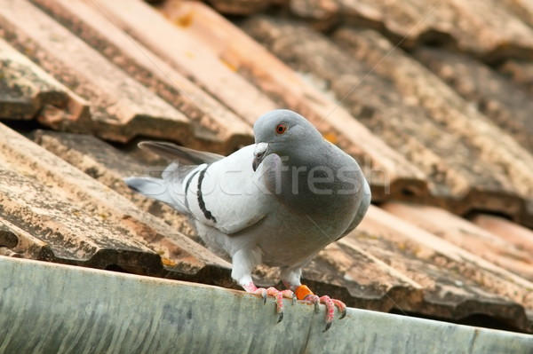 domestic pigeon on house roof Stock photo © taviphoto