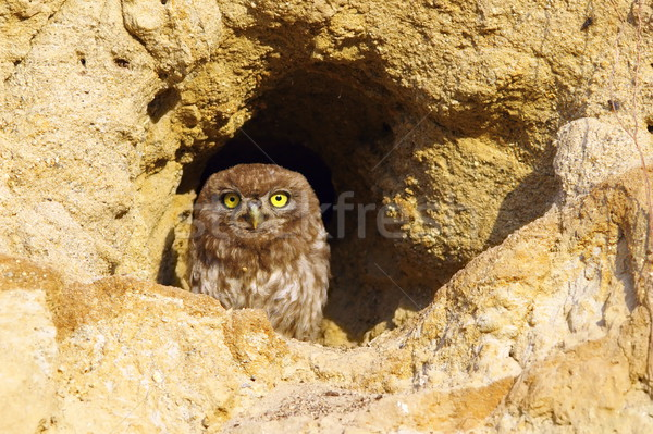 little owl on burrow Stock photo © taviphoto